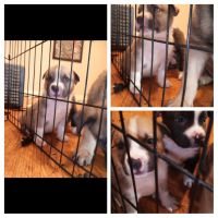 American Staffordshire Terrier Puppies for sale in Linden, CA 95236, USA. price: NA