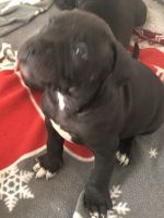 American Staffordshire Terrier Puppies for sale in Chattanooga, TN, USA. price: NA