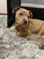American Staffordshire Terrier Puppies for sale in Wood Village, OR 97060, USA. price: NA