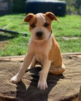 American Staffordshire Terrier Puppies for sale in Melbourne, FL, USA. price: NA