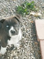 American Staffordshire Terrier Puppies for sale in El Paso, TX, USA. price: NA