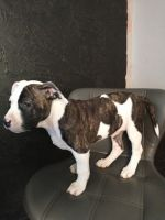 American Staffordshire Terrier Puppies for sale in San Antonio, TX, USA. price: NA