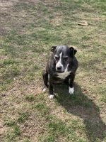 American Staffordshire Terrier Puppies for sale in Cedar Rapids, IA, USA. price: NA