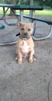 American Staffordshire Terrier Puppies for sale in Brandon, FL 33511, USA. price: NA
