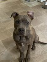 American Staffordshire Terrier Puppies for sale in Topeka, KS, USA. price: NA