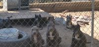 American Staffordshire Terrier Puppies for sale in Perris, CA 92570, USA. price: NA