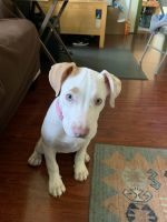 American Staffordshire Terrier Puppies for sale in Georgetown, DE 19947, USA. price: NA