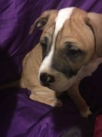 American Staffordshire Terrier Puppies for sale in Huntington Station, NY, USA. price: NA