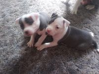 American Staffordshire Terrier Puppies for sale in Reno, NV, USA. price: NA