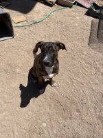 American Staffordshire Terrier Puppies for sale in Barstow, CA, USA. price: NA