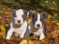 American Staffordshire Terrier Puppies for sale in Michigan City, IN, USA. price: NA