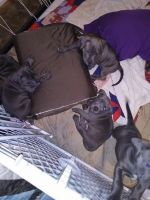 American Staffordshire Terrier Puppies for sale in Spokane, WA, USA. price: NA