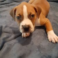 American Staffordshire Terrier Puppies for sale in Stone Mountain, GA, USA. price: NA