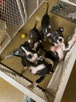 American Staffordshire Terrier Puppies for sale in Ocklawaha, FL 32179, USA. price: NA