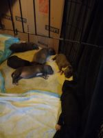 American Staffordshire Terrier Puppies for sale in 608 Alumrock Dr, Antioch, CA 94509, USA. price: NA