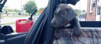 American Staffordshire Terrier Puppies for sale in Louisville, KY, USA. price: NA