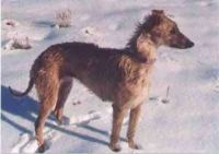 american staghound dog