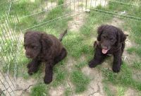 American Water Spaniel Puppies for sale in Dallas, TX, USA. price: NA