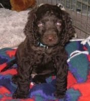 American Water Spaniel Puppies for sale in Seattle, WA 98103, USA. price: NA