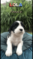 American Water Spaniel Puppies for sale in Orlando, FL, USA. price: NA