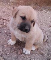 Anatolian Shepherd Puppies for sale in Sedona, AZ 86336, USA. price: NA