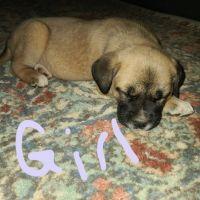 Anatolian Shepherd Puppies for sale in Leighton, AL 35646, USA. price: NA
