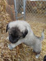 Anatolian Shepherd Puppies for sale in Cadiz, OH 43907, USA. price: NA
