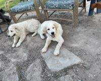 Anatolian Shepherd Puppies for sale in Crystal City, TX 78839, USA. price: NA