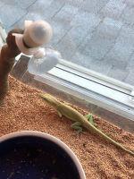 Anole Reptiles Photos