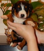Appenzell Mountain Dog Puppies Photos