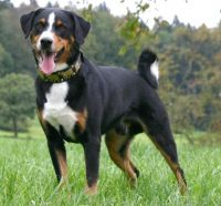 appenzell mountain dog dog