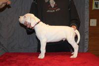 Argentine Dogo Puppies Photos