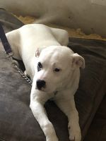Argentine Dogo Puppies for sale in 3268 Blazing Pine Knoll, Decatur, GA 30034, USA. price: NA