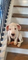 Argentine Dogo Puppies for sale in Bonaire, GA 31005, USA. price: NA