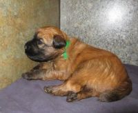 Ariegeois Puppies for sale in Lancaster, CA, USA. price: NA