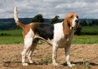 artois hound dog