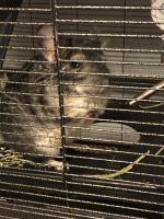 Ashy Chinchilla Rat Rodents for sale in Dacula, GA 30019, USA. price: NA