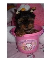 Atlas Terrier Puppies for sale in Miami, FL, USA. price: NA