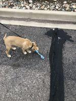 Atlas Terrier Puppies Photos