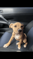 Atlas Terrier Puppies for sale in Colorado Springs, CO, USA. price: NA