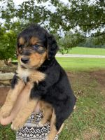 Aussie Doodles Puppies for sale in Lexington, GA 30648, USA. price: NA