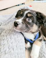Aussie Doodles Puppies for sale in The Colony, TX, USA. price: NA