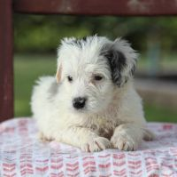 Aussie Doodles Puppies for sale in Lake Woodlands Dr, Spring, TX 77380, USA. price: NA