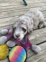 Aussie Doodles Puppies for sale in Chilhowie, VA 24319, USA. price: NA