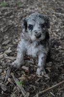 Aussie Doodles Puppies for sale in Winston-Salem, NC, USA. price: NA