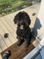 Aussie Doodles Puppies for sale in Hendersonville, NC, USA. price: NA