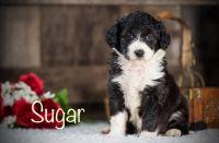 Aussie Doodles Puppies for sale in 345 Hidden Dr, Crossville, TN 38571, USA. price: NA