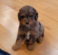 Aussie Doodles Puppies for sale in Jamestown, TN 38556, USA. price: NA