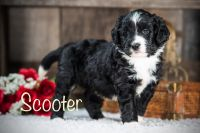 Aussie Doodles Puppies for sale in Crossville, TN, USA. price: NA