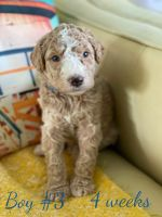 Aussie Doodles Puppies for sale in OH-188, Pleasantville, OH, USA. price: NA